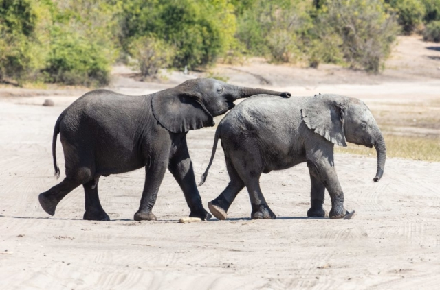 Baby African bush elephants (Loxodonta africana), Chobe National Park, Botswana