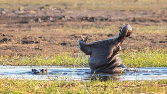 Hippos (Hippopotamus amphibius), Chobe National Park, Botswana
