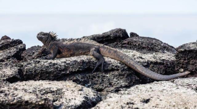 Exemplar of marine iguana (Amblyrhynchus cristatus) in Santa Cruz Island, Galápagos Islands, Ecuador.