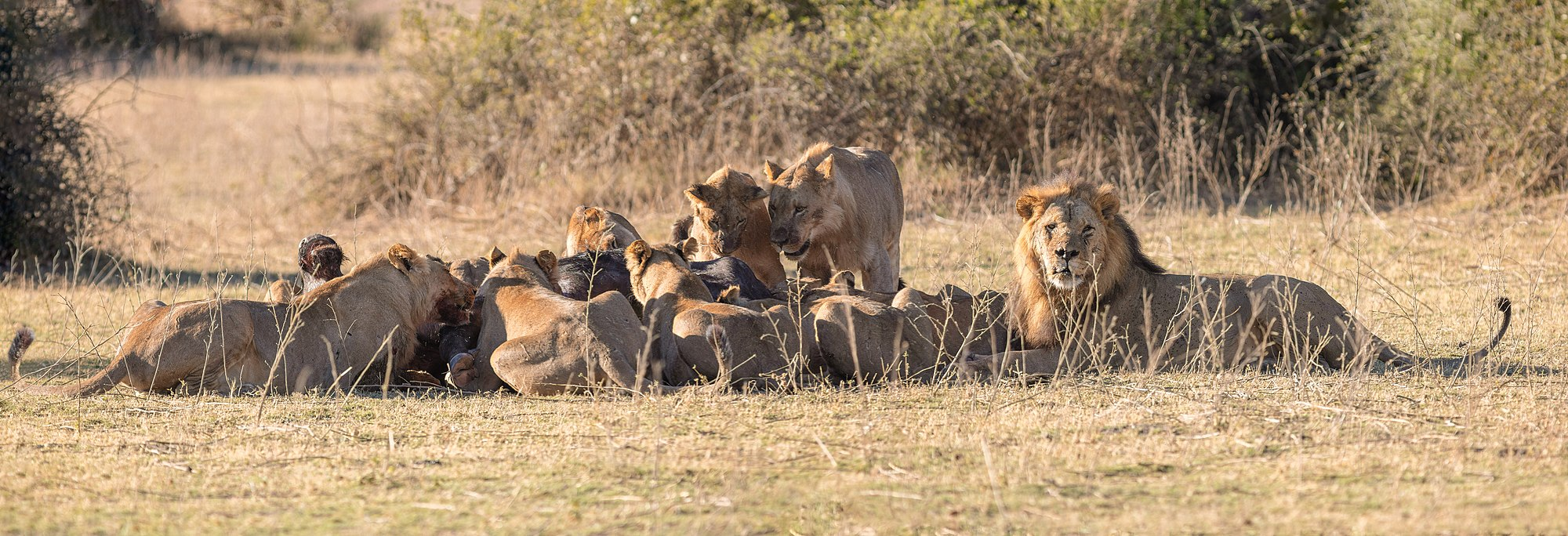 Lions (Panthera leo) devouring an African buffalo (Syncerus caffer caffer), Chobe National Park, Botswana