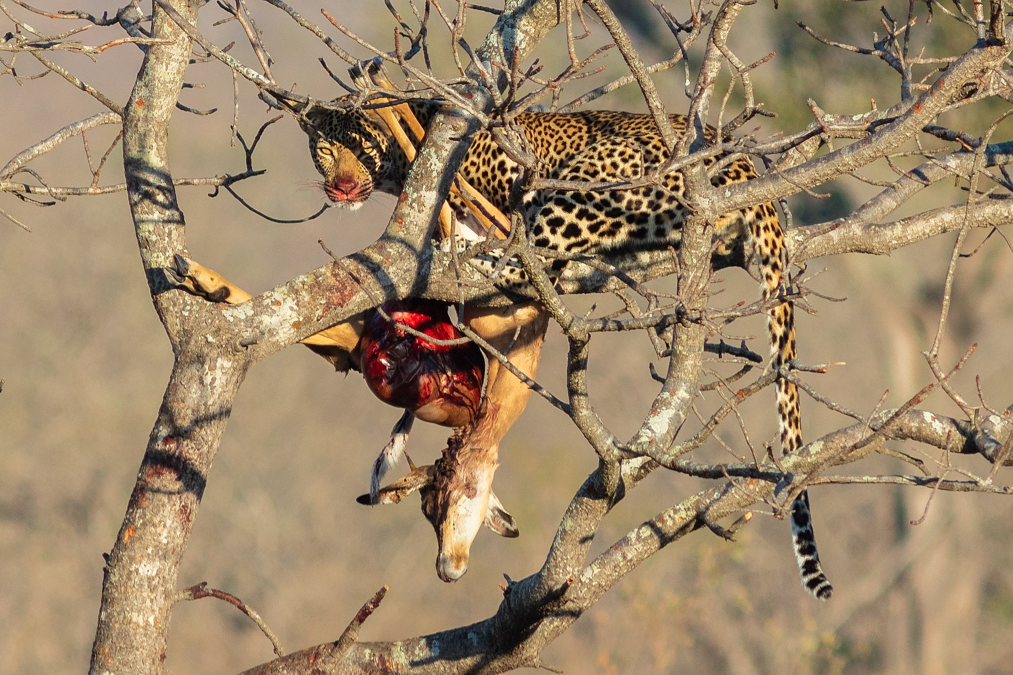 Leopard (Panthera pardus) devouring an antelope, Kruger National Park, South Africa