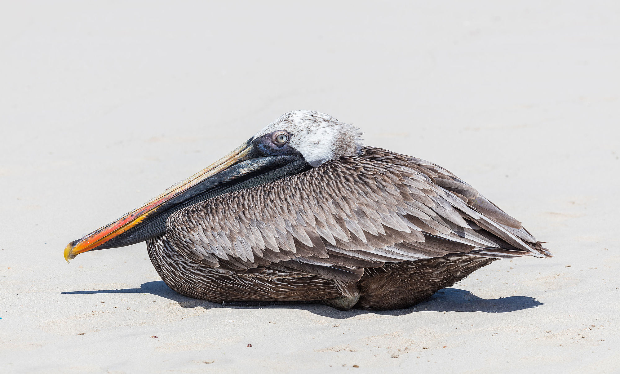 Exemplar of brown pelican (Pelecanus occidentalis) laying in Tortuga Bay, Santa Cruz Island, Galápagos Islands, Ecuador.