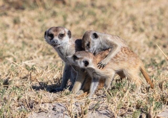 Meerkats (Suricata suricatta), Makgadikgadi Pans National Park, Botswana
