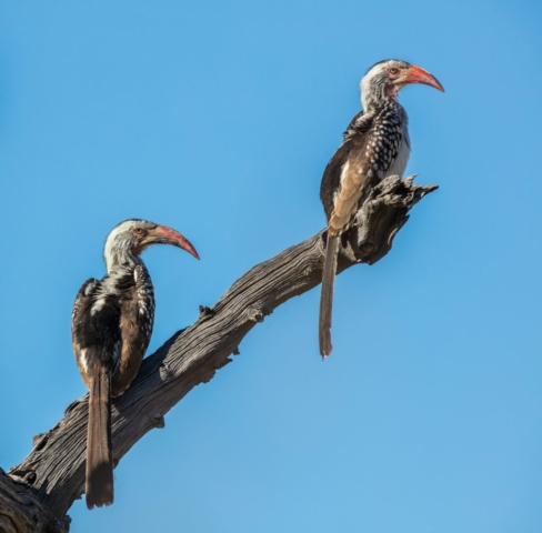 Southern yellow-billed hornbills (Tockus leucomelas), Makgadikgadi Pans National Park, Botswana