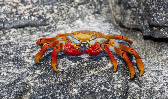 Exemplar of red rock crab (Grapsus grapsus), Cerro Brujo, San Cristobal Island, Galapagos Islands, Ecuador.