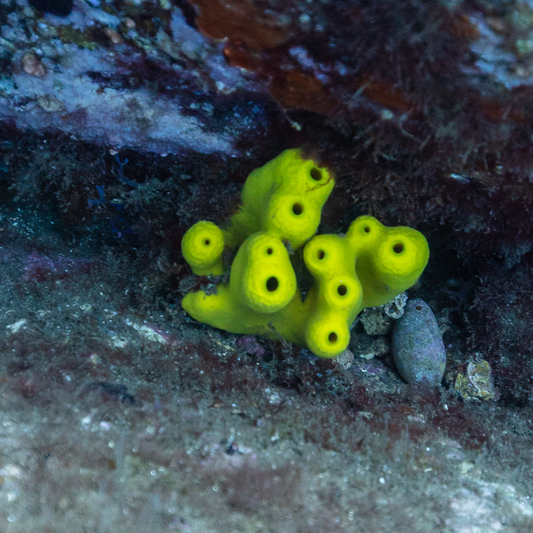 Yellow tube sponge (Aplysina aerophoba), Madeira, Portugal.