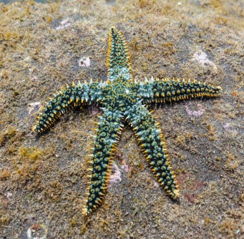 Spiny starfish (Marthasterias glacialis), Madeira, Portugal.