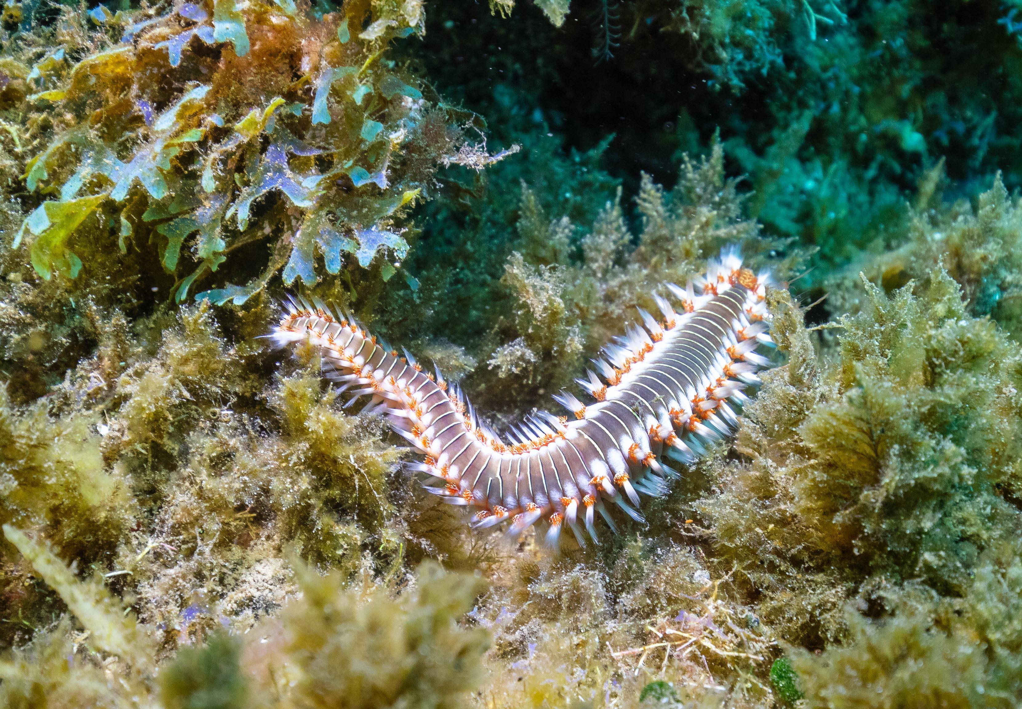 Fire worm (Hermodice carunculata), Madeira, Portugal.