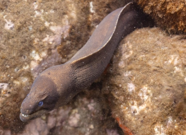 Brown moray eel (Gymnothorax unicolor), Madeira, Portugal.