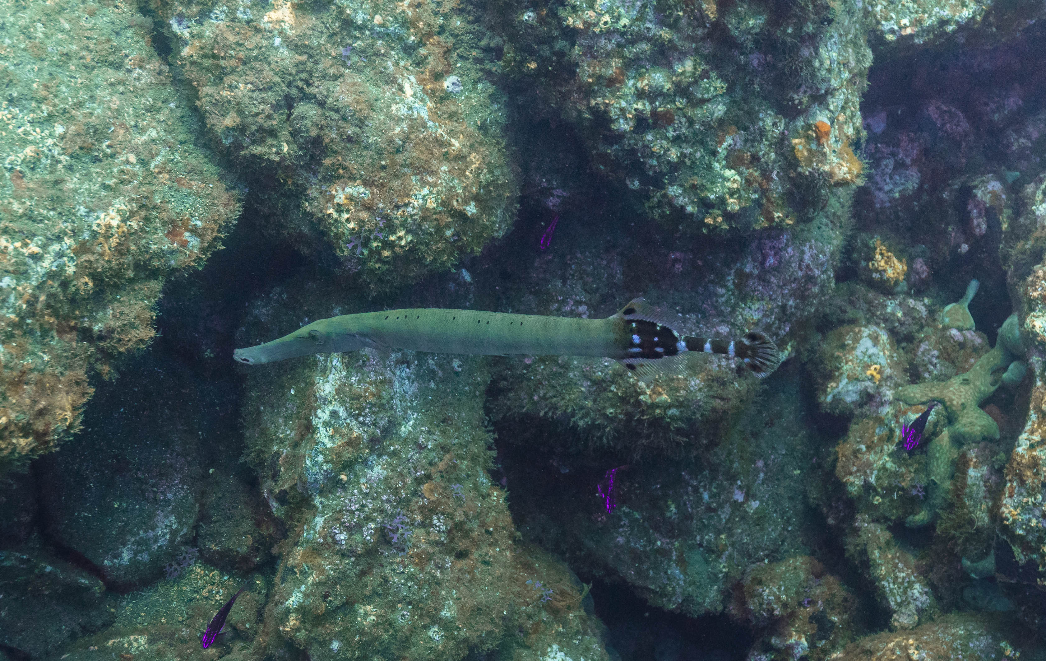 Atlantic trumpetfish (Aulostomus strigosus), Madeira, Portugal.