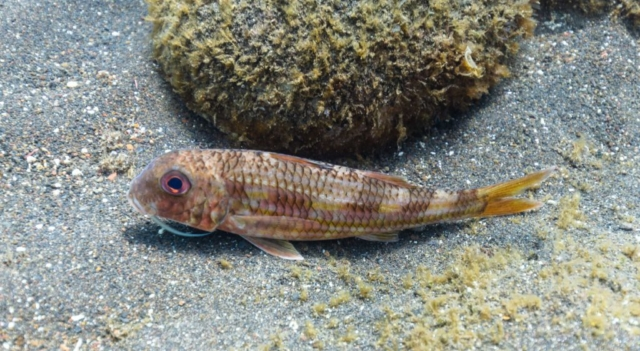 Striped red mullet (Mullus surmuletus), Madeira, Portugal.