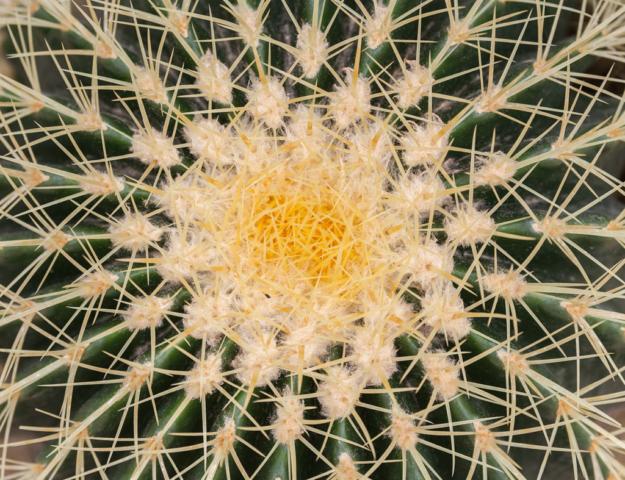 Golden Barrel Cactus (Echinocactus grusonii), Munich Botanical Garden, Germany.