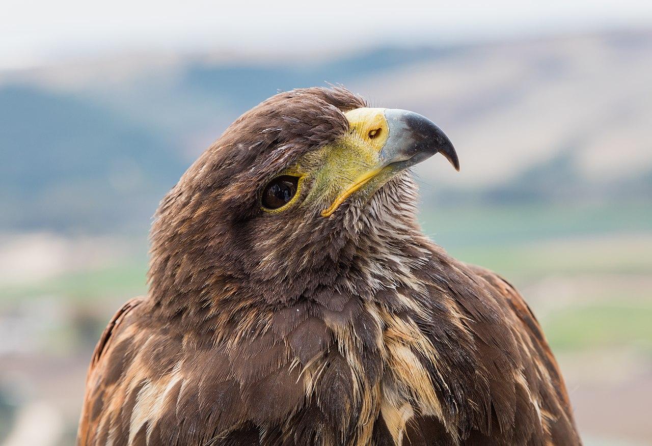Head of a Harris Hawk (Parabuteo unicinctus) in Arcos de la Frontera, province of Cádiz, Spain.
