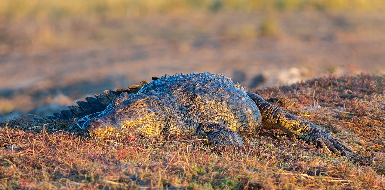 Nile crocodile (Crocodylus niloticus) during the golden hour, Chobe National Park, Botswana.