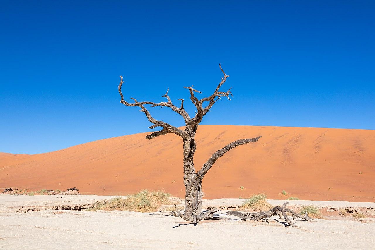 Dead camel thorn (Vachellia erioloba), Deadvlei, Namib-Naukluft Park, Namibia.