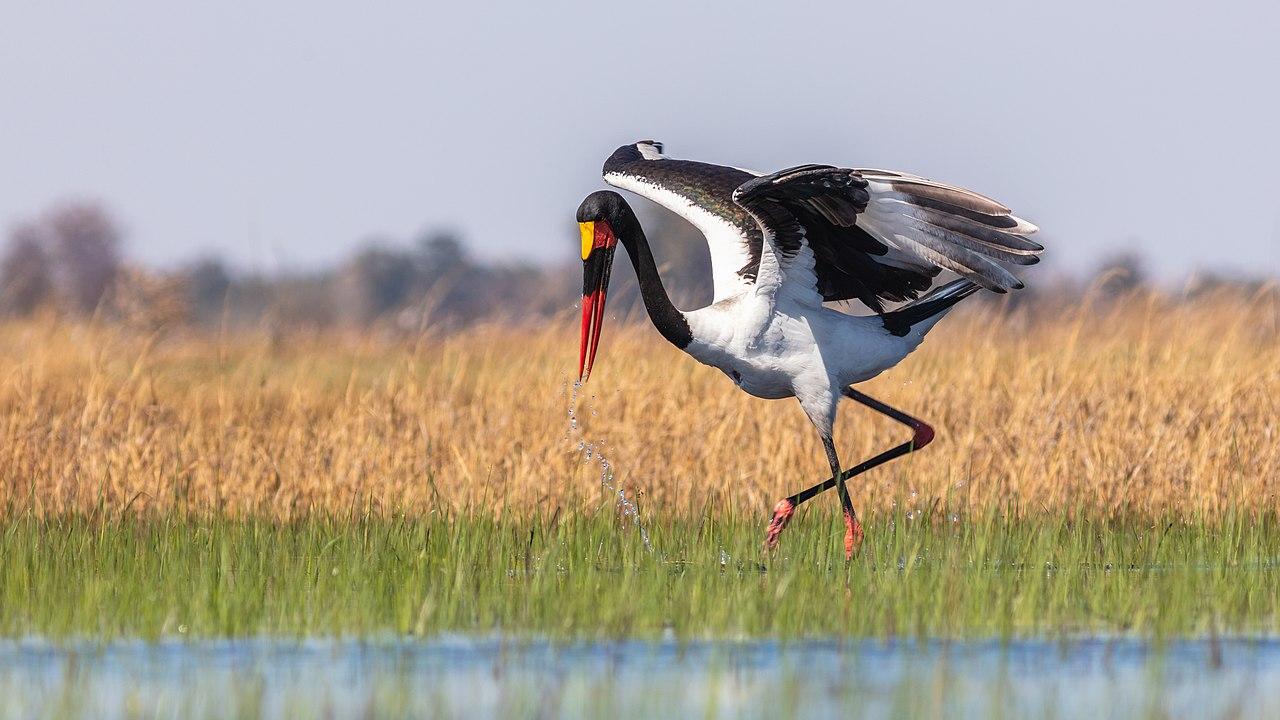Exemplar of Saddle-billed stork (Ephippiorhynchus senegalensis), Okavango Delta, Botswana.