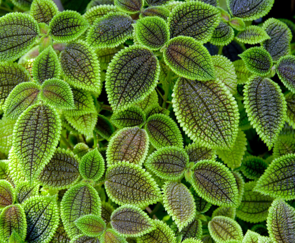 Pilea involucrata leafs, Botanical Garden of Munich, Germany.