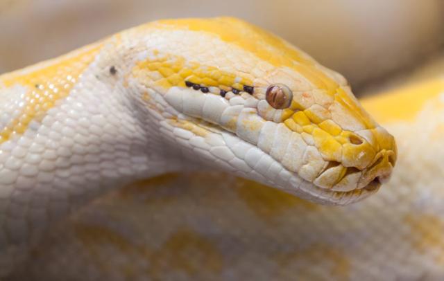 Indian python albino (Python molurus), Ho Chi Minh City Zoo, Vietnam.