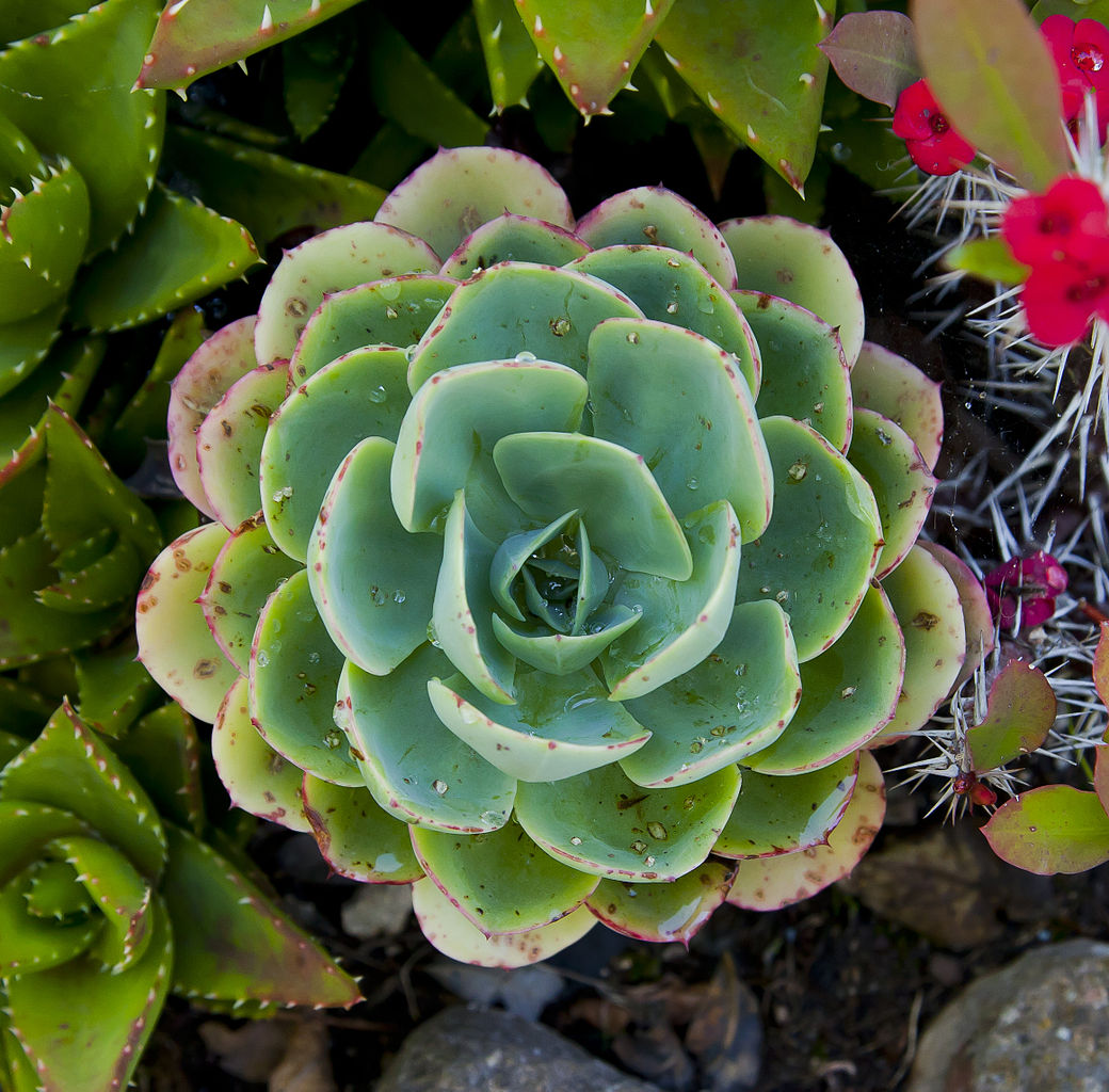 Mexican Gem (Echeveria elegans), Sierra of Saint Philip, Setubal, Portugal.