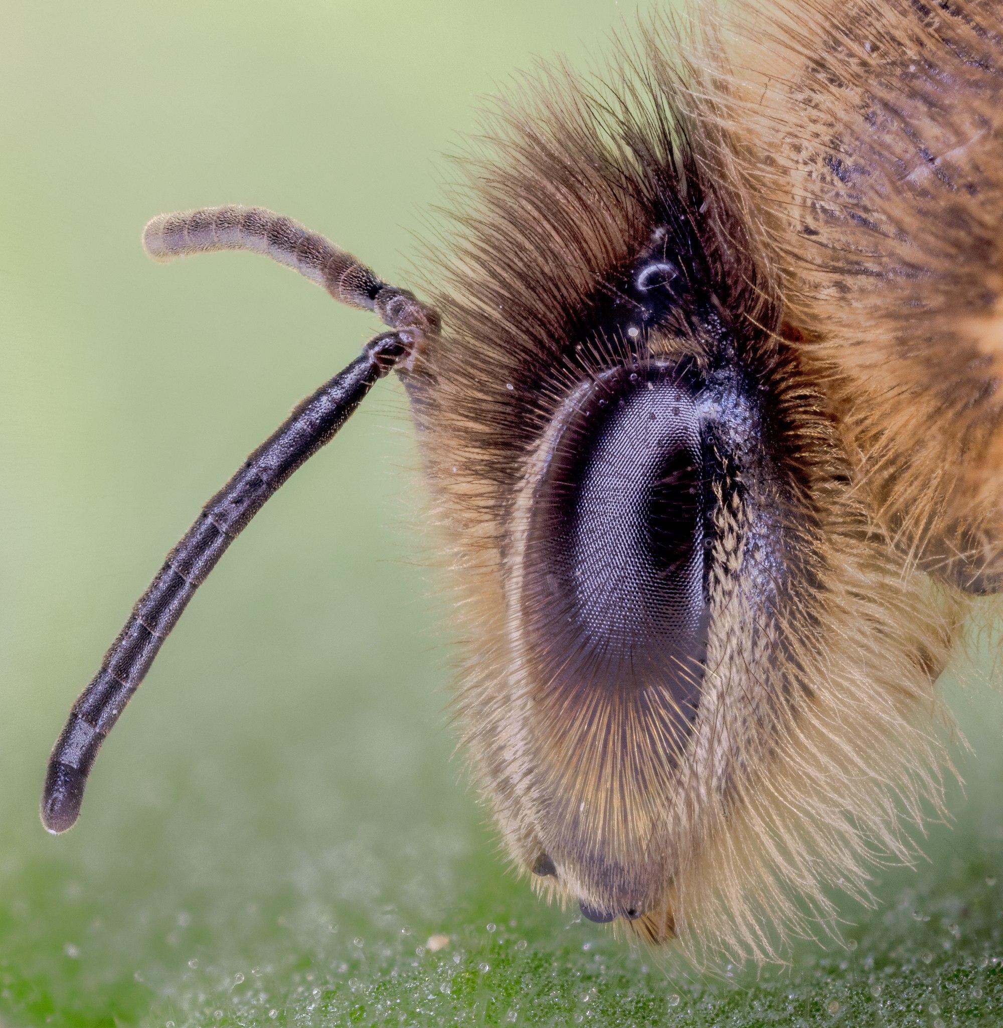 Bee (Colletes daviesanus), Hartelholz, Munich, Germany