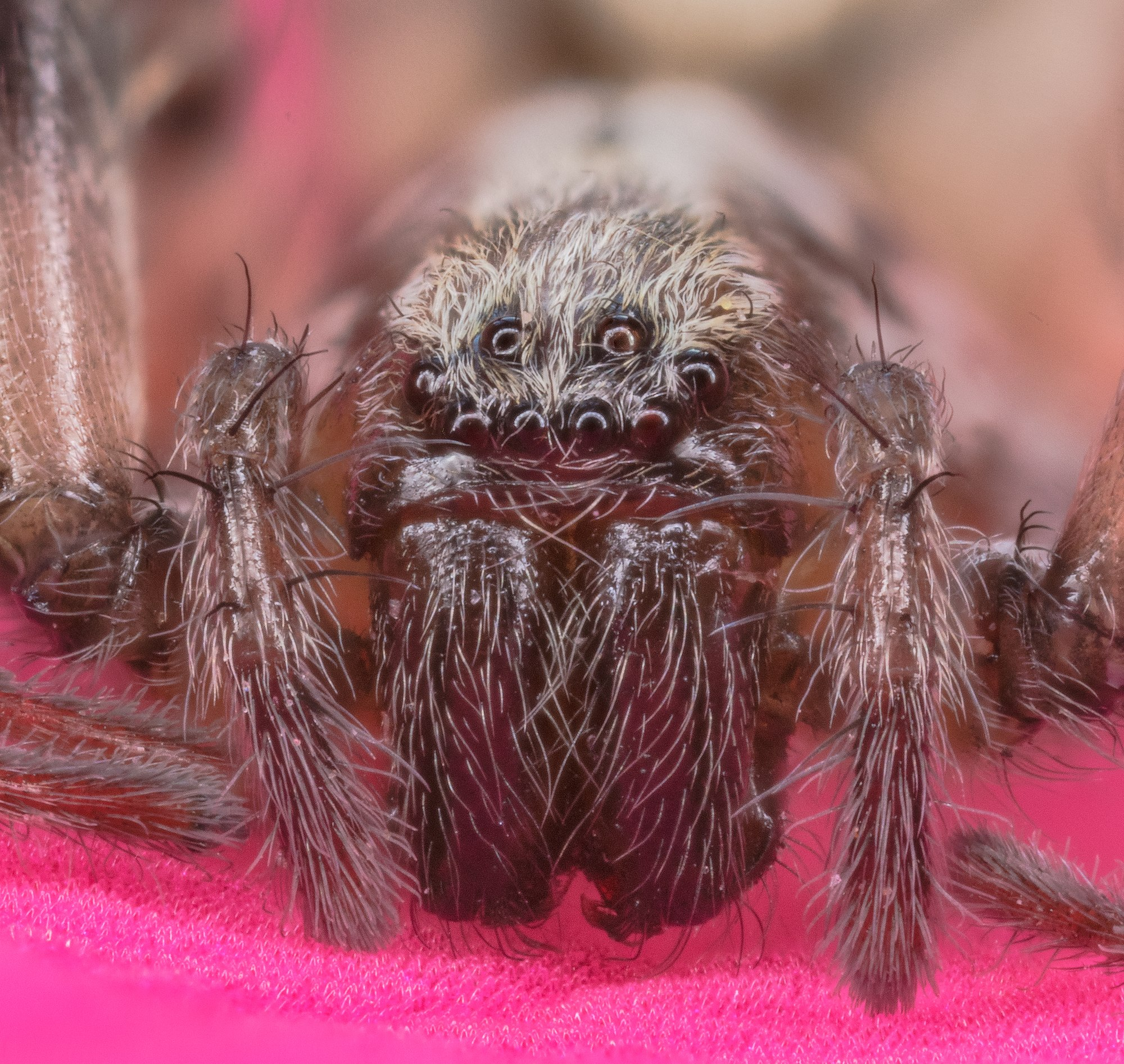 Wall spider (Dictyna civica), Munich, Germany