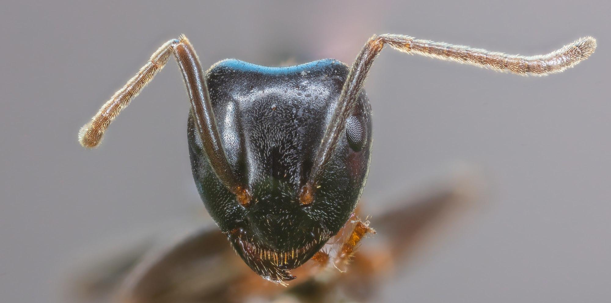 Pharaoh ant (Monomorium pharaonis), Hartelholz, Munich, Germany