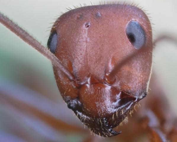 Red wood ant (Formica rufa), Hartelholz, Munich, Germany