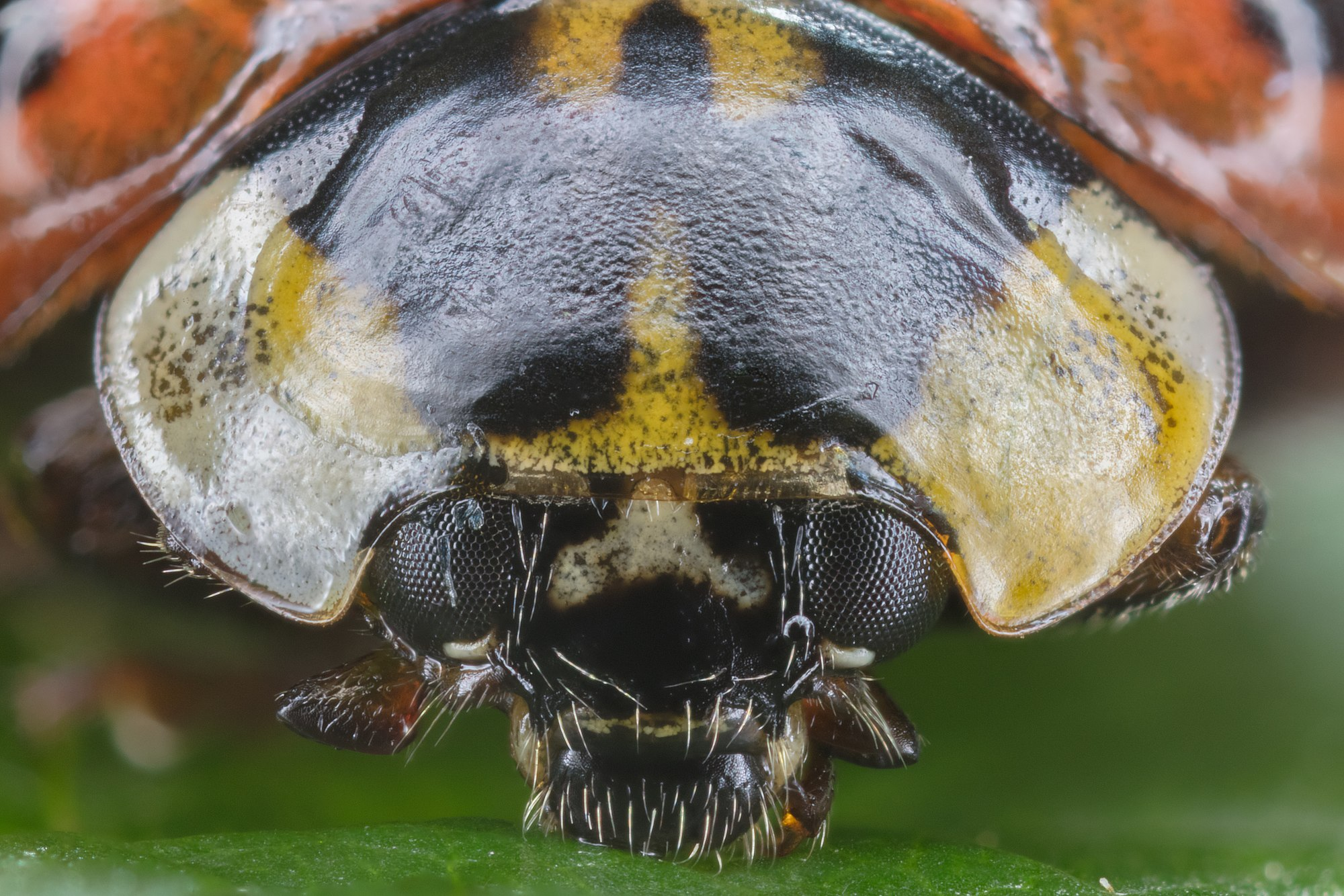 Asian ladybeetle (Harmonia axyridis), Hartelholz, Munich, Germany