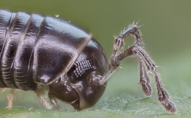 Millipede (Cylindroiulus caeruleocinctus), Hartelholz, Munich, Germany