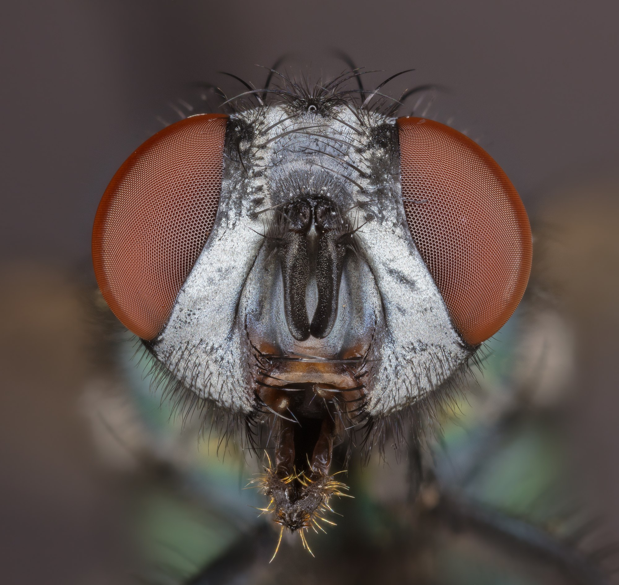 Common green bottle fly (Lucilia sericata), Hartelholz, Munich, Germany