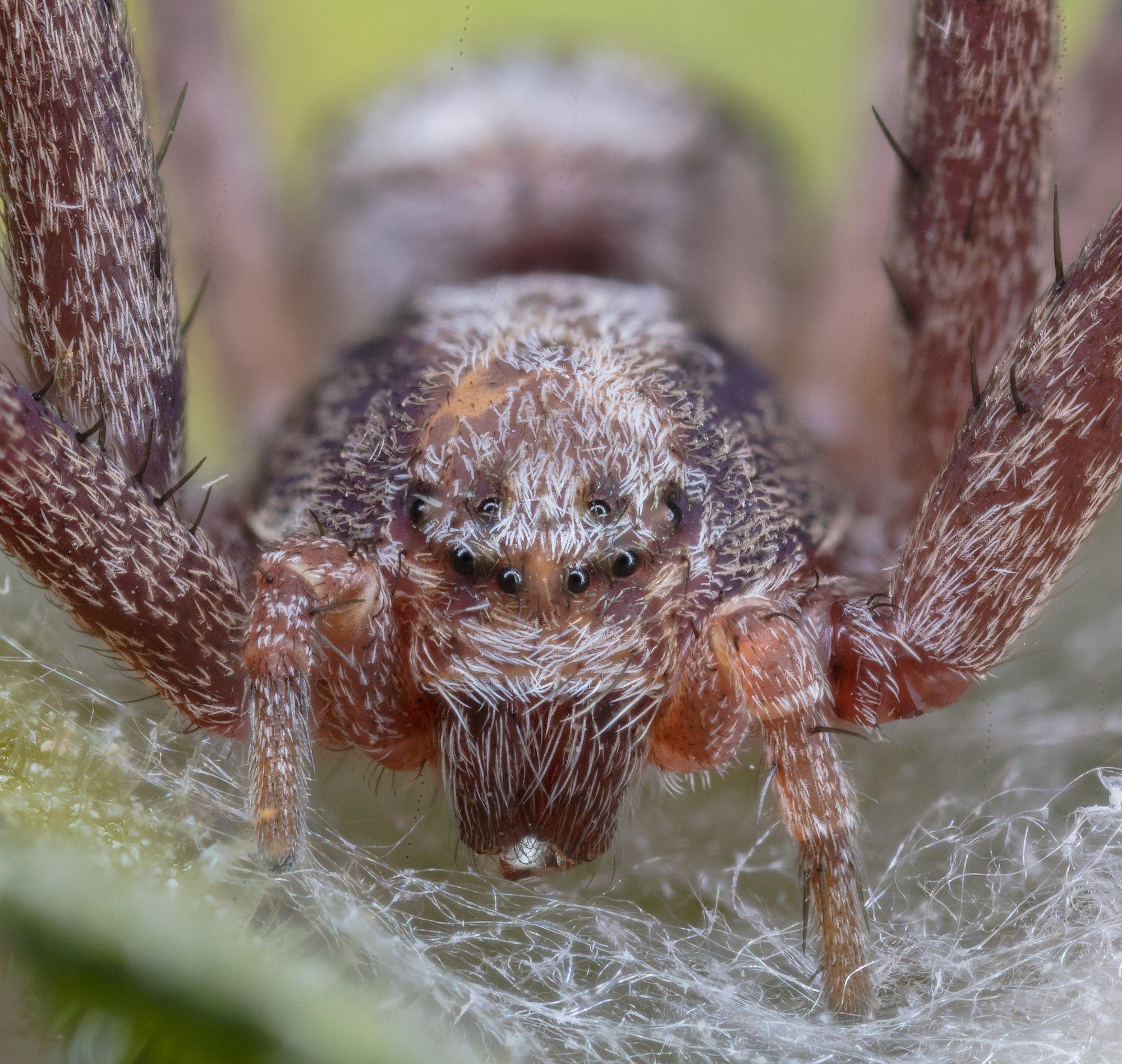 Wandering crab spider (Philodromus aureolus), Hartelholz, Munich, Germany