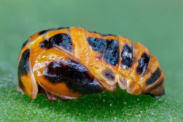Coccinellidae Pupa, Hartelholz, Munich, Germany