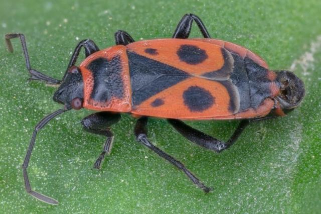 Firebug (Pyrrhocoris apterus), Hartelholz, Munich, Germany